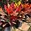 Thumbnail: Croton Petra