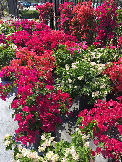 Bougainvillea Lighthouse Garden Center Miami