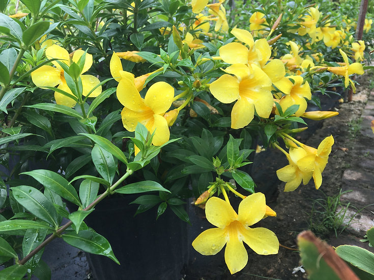 Dwarf Allamanda Bush Lighthouse Garden Center Miami