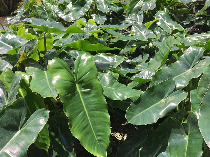 Philodendron Burle Marx Lighthouse Garden Center