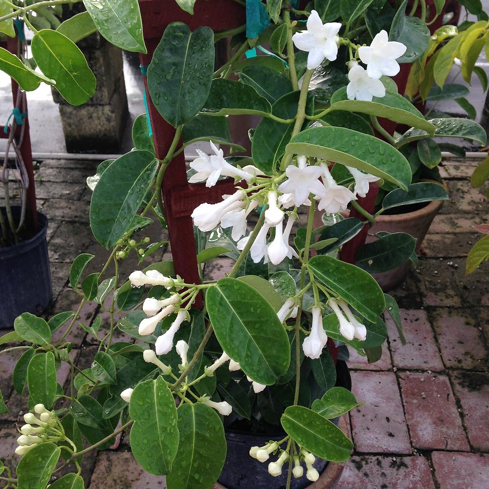 Madagascar Jasmine