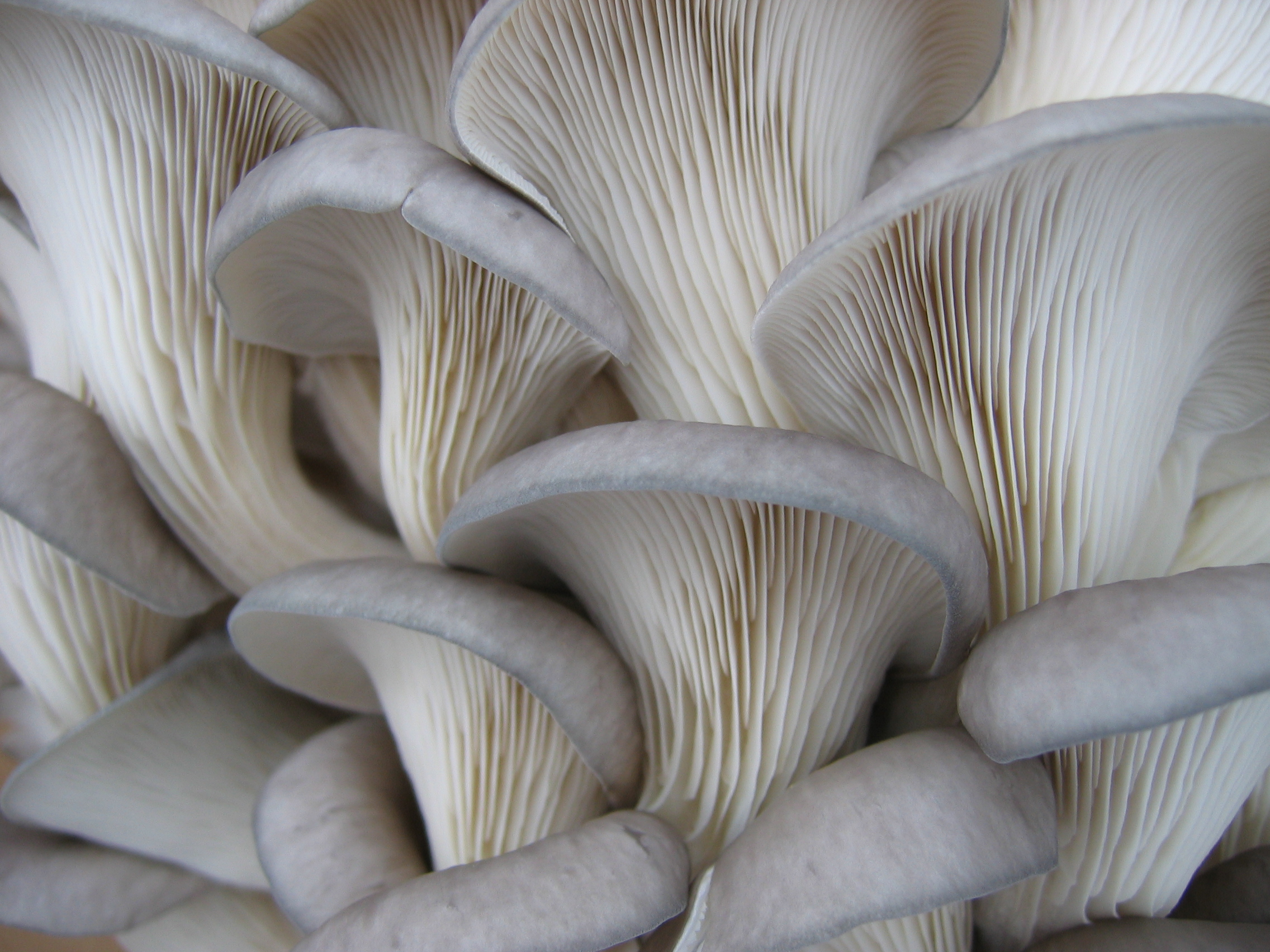 Gray Oyster