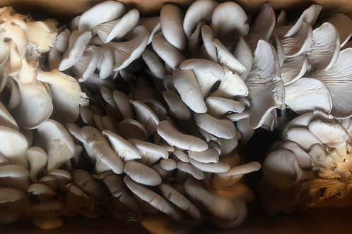 Gray Oyster Mushrooms  3 lbs.