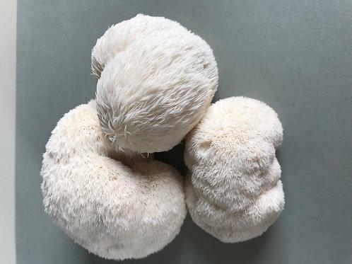 Lion's Mane (Pom Pom)  1 lb.