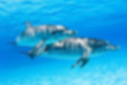 spotted dolphins.jpg