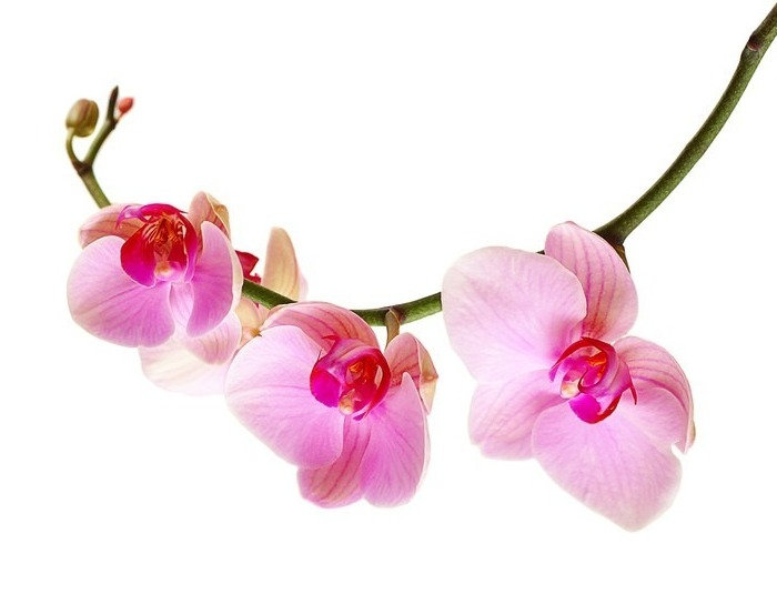 posters-pink-orchid-flower-isolated-on-w