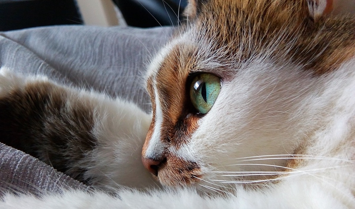 domestic-short-haired-tortoiseshell-cat