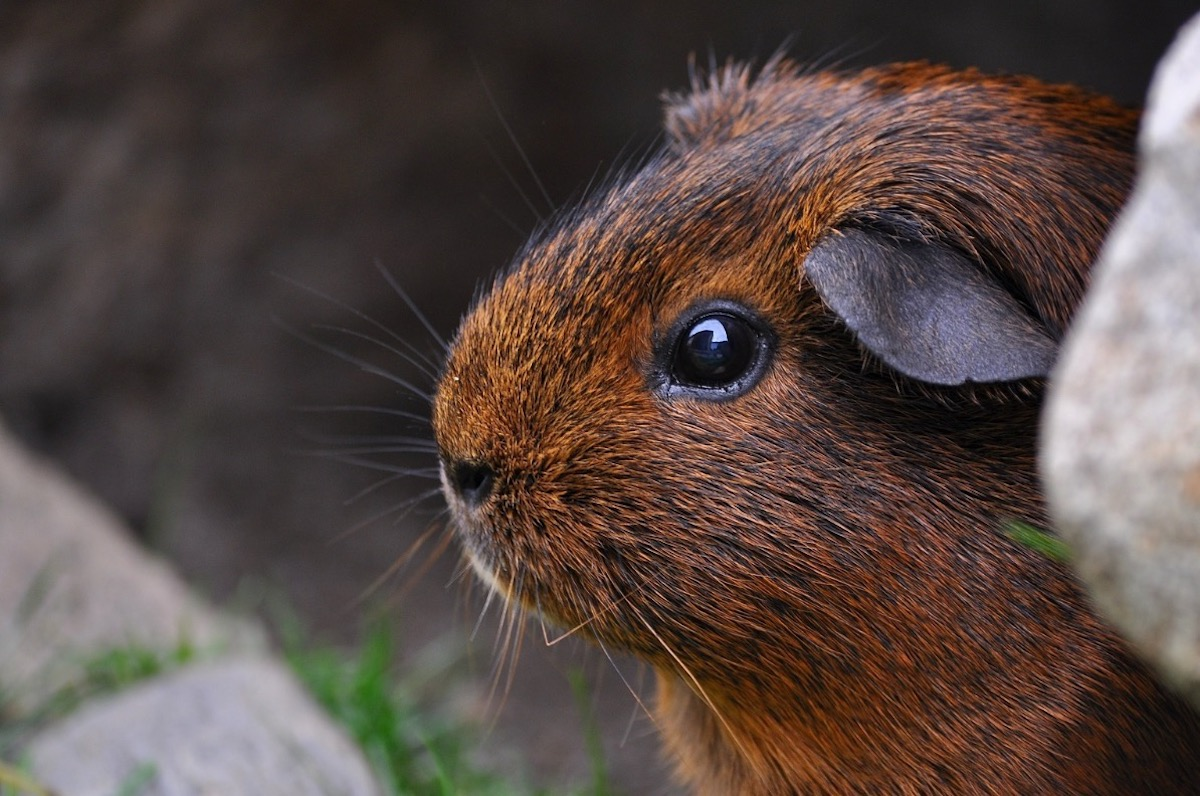 smooth-coated-brown-guinea-pig