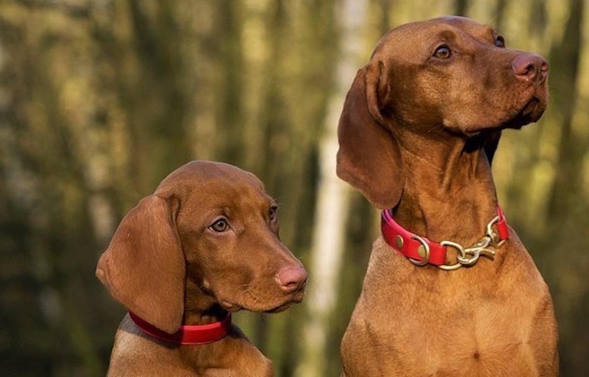 hungarian-viszla-dogs