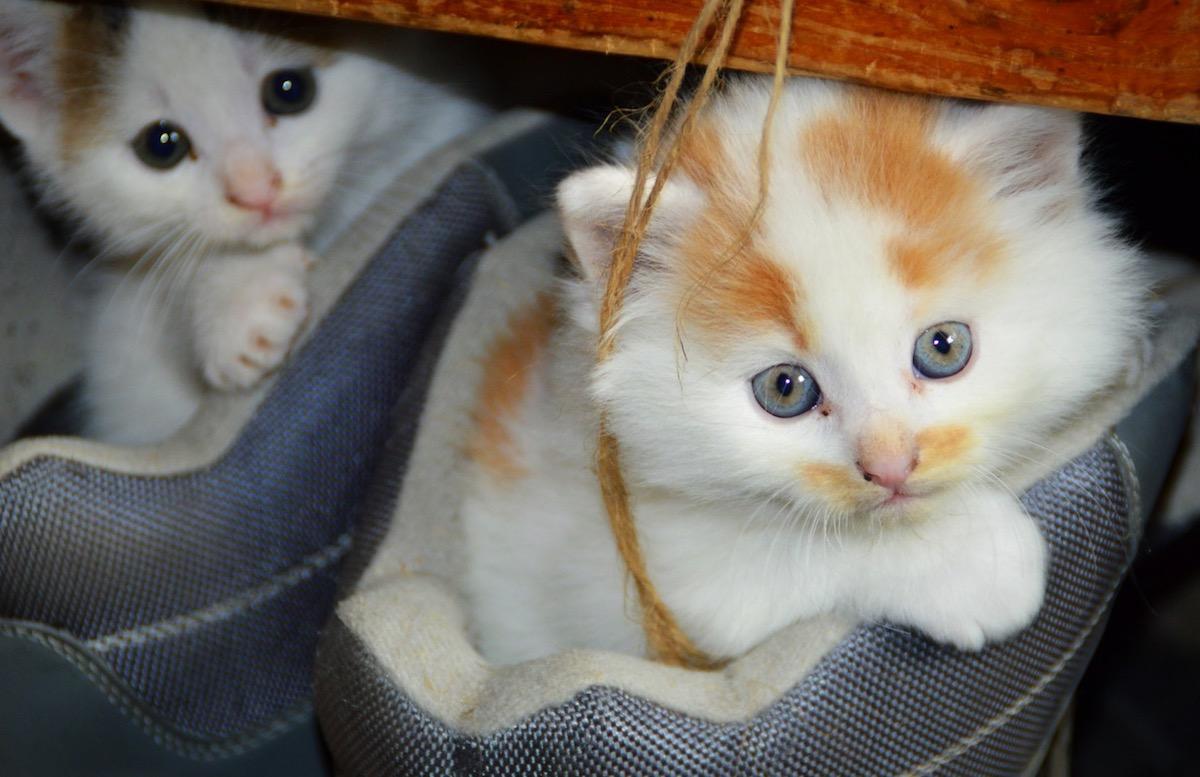 domestic-short-haired-kittens