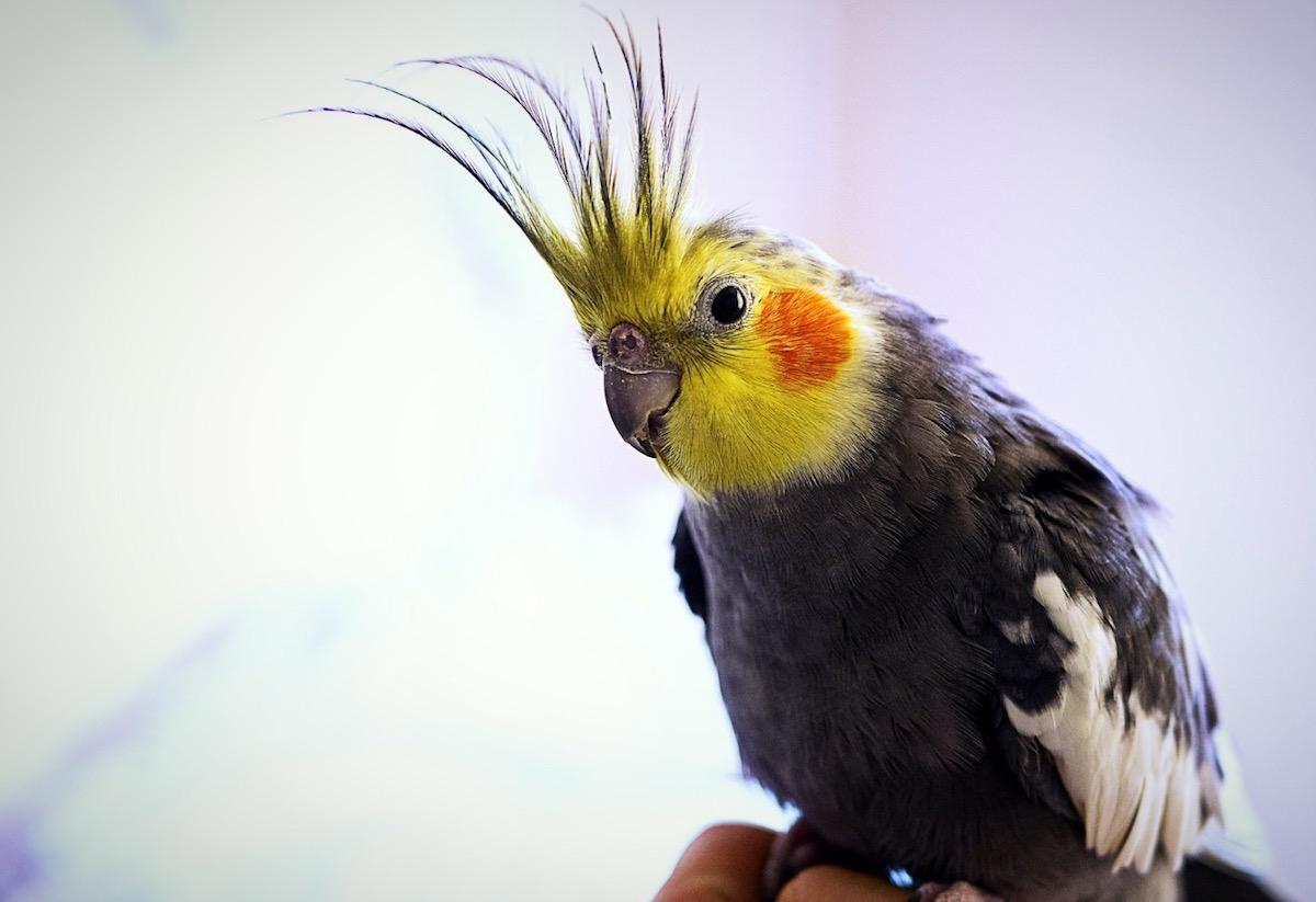 grey-orange-cheeked-cockatiel