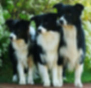 Black and white Border Collies. Our team of Vets and Vet Nurses are attentive, knowledgeable in pet care, and passionate about giving you and your pet the best service. We just all love our jobs!