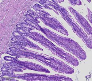 Intestinal morphometry of ileal broiler villus.