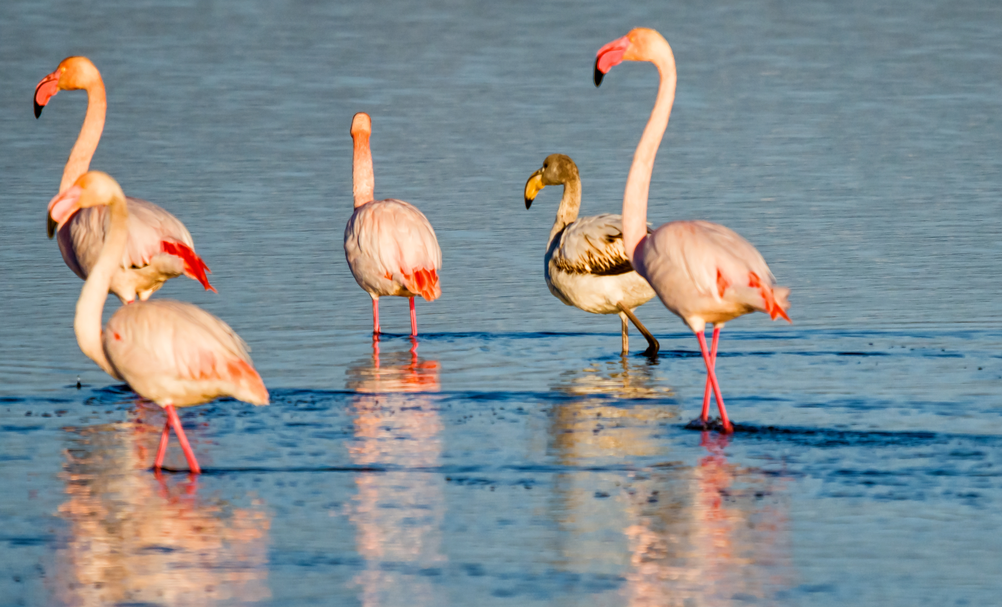 Flamingos in Delta de Ebro natural park,