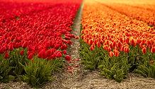 tulips-5097405_1920.jpg