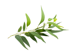 huile-essentielle-eucalyptus-citronne-bi