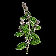 hydrolat-menthe-poivree-bio.png