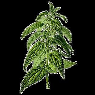 ortie-absolue-melange-plantes.jpg.png