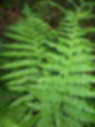 wood fern.jpeg