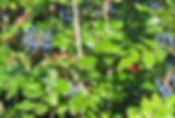 800px-Mahonia_aquifolium.jpg