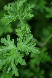 Fresh Herbs Close Up