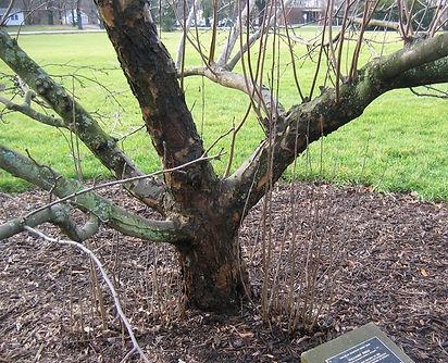 crabapple needs pruning.jpg