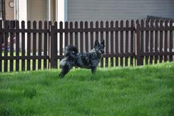 NE and Kisuze puppies 031