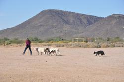 herding trial 2014 123