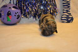 Moody Blue Puppies 091