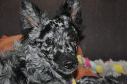 NE and Kisuze puppies 036