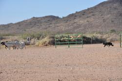 herding trial 2014 091