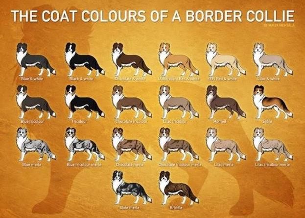 Border Collie Coat Colors