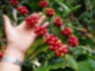 Red Coffee Beans.jpg
