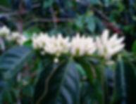 Coffee Flowerng.jpg