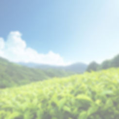 Tea-Plantation-Cameron-Highlands-Malaysi