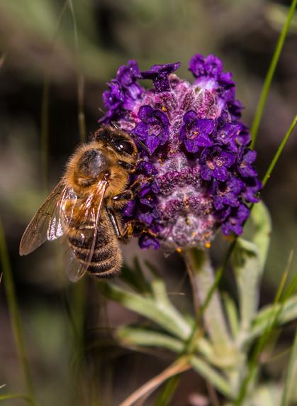 Bumblebee on Lavendar