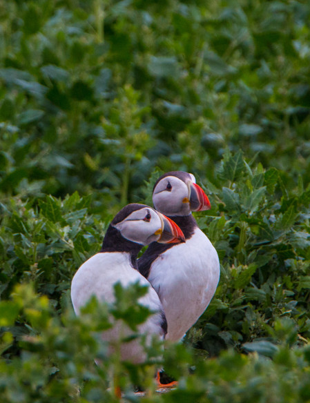 Couple of Puffins