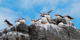 Puffin Group (Farne Islands)
