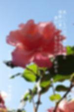 ピンクのバラ(後ろが空) 11月8日.jpg