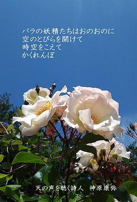 白のバラ 修正版.jpg