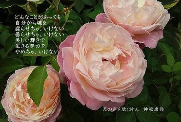 ピンクのバラ  11月8日.jpg