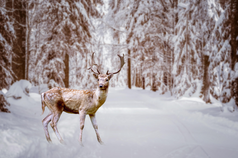 DeerWinter2