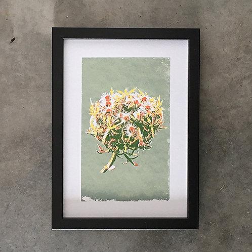 Corsican flowerhead green
