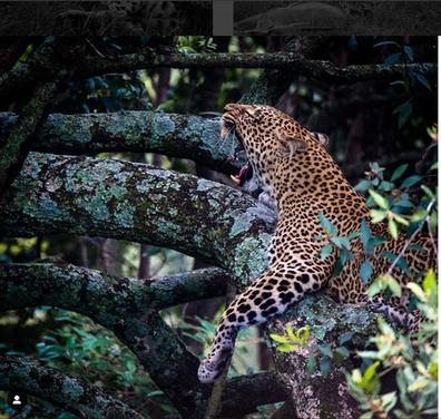 Léopard dans son arbre