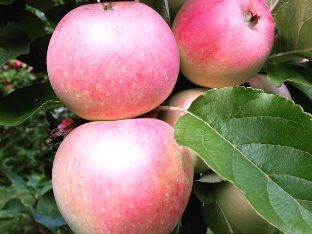 Aroma eple