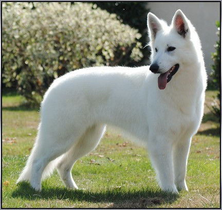 BERGER BLANC SUISSE.INDIAN LEGEND du Clan Macval