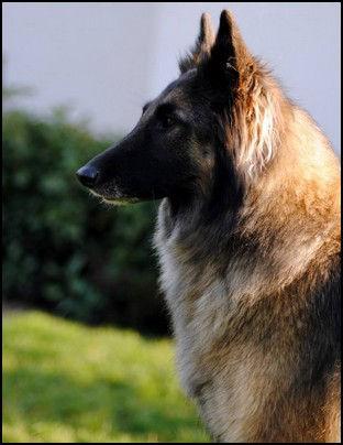 BERGER BELGE TERVUEREN.ESTIA BELL des Loups de la Tiarde