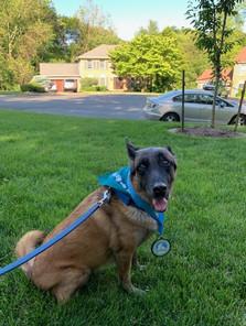 Canine Ambassador MDD Sammy in Race Swag after completing her Paw-er Walk for Peace 5k