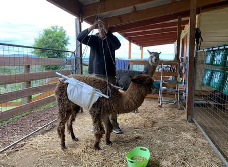 Winter Blues for Alpacas