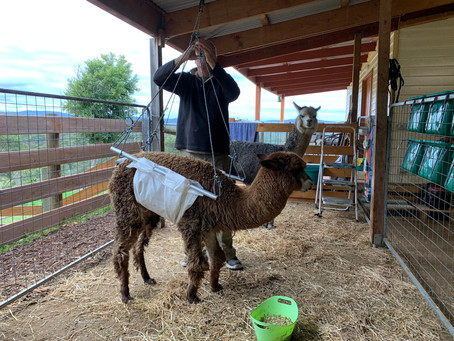 Winter Blues for Alpacas